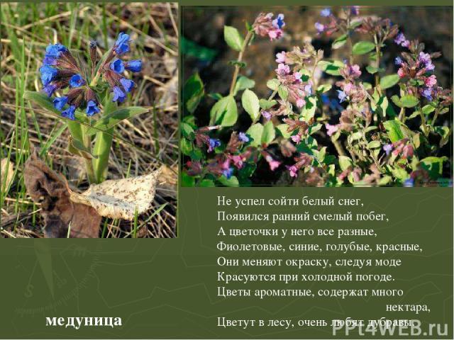 медуница Не успел сойти белый снег, Появился ранний смелый побег, А цветочки у него все разные, Фиолетовые, синие, голубые, красные, Они меняют окраску, следуя моде Красуются при холодной погоде. Цветы ароматные, содержат много нектара, Цветут в лес…