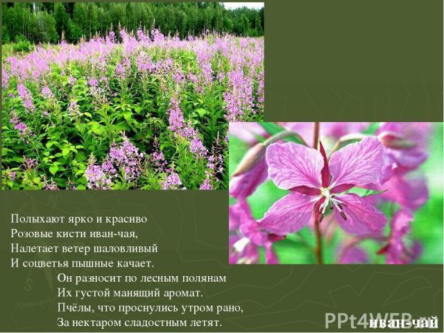 иван-чай Полыхают ярко и красиво Розовые кисти иван-чая, Налетает ветер шаловливый И соцветья пышные качает. Он разносит по лесным полянам Их густой манящий аромат. Пчёлы, что проснулись утром рано, За нектаром сладостным летят. Иван-чай. Полыхают я…