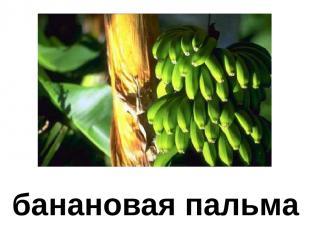 банановая пальма Банановая пальма.