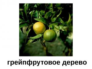 грейпфрутовое дерево Грейпфрутовое дерево.