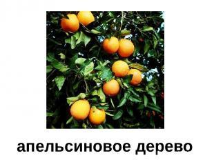 апельсиновое дерево Апельсиновое дерево.