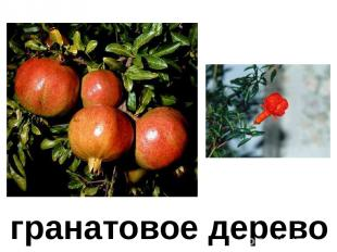 гранатовое дерево Гранатовое дерево.