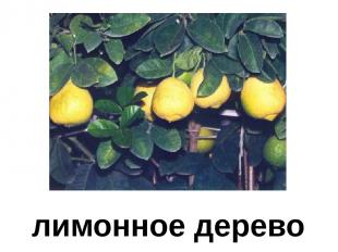 лимонное дерево Лимонное дерево.