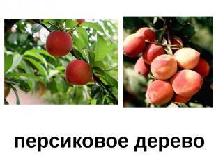 персиковое дерево Персиковое дерево.