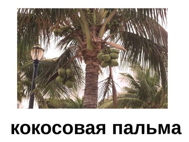 кокосовая пальма Кокосовая пальма.