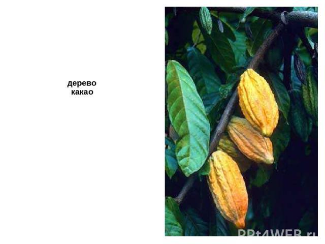 дерево какао Дерево какао.