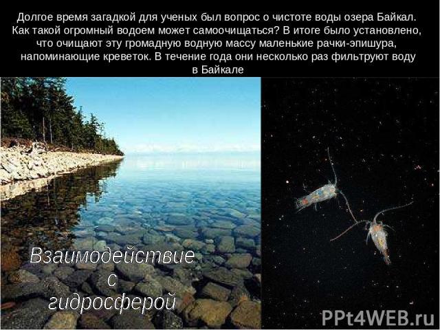 Долгое время загадкой для ученых был вопрос о чистоте воды озера Байкал. Как такой огромный водоем может самоочищаться? В итоге было установлено, что очищают эту громадную водную массу маленькие рачки-эпишура, напоминающие креветок. В течение года о…