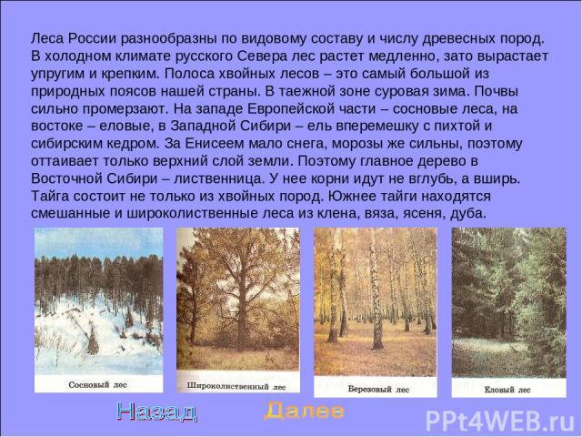 Леса России разнообразны по видовому составу и числу древесных пород. В холодном климате русского Севера лес растет медленно, зато вырастает упругим и крепким. Полоса хвойных лесов – это самый большой из природных поясов нашей страны. В таежной зоне…