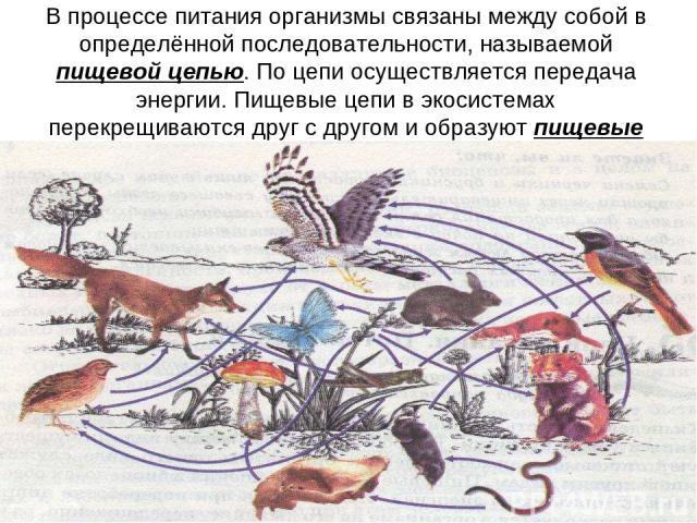 В процессе питания организмы связаны между собой в определённой последовательности, называемой пищевой цепью. По цепи осуществляется передача энергии. Пищевые цепи в экосистемах перекрещиваются друг с другом и образуют пищевые сети.