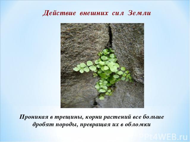 Проникая в трещины, корни растений все больше дробят породы, превращая их в обломки Действие внешних сил Земли