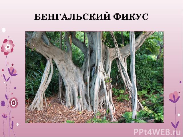 БЕНГАЛЬСКИЙ ФИКУС