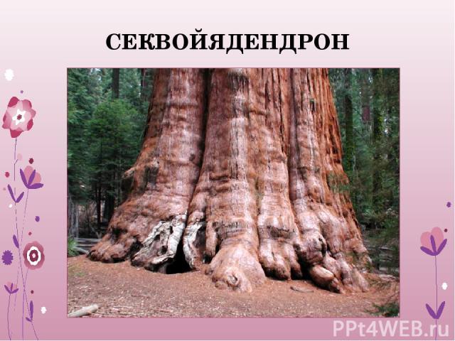 СЕКВОЙЯДЕНДРОН