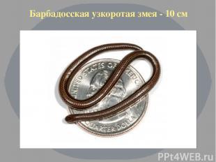 Барбадосская узкоротая змея - 10 см