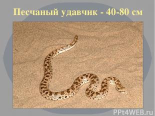 Песчаный удавчик - 40-80 см