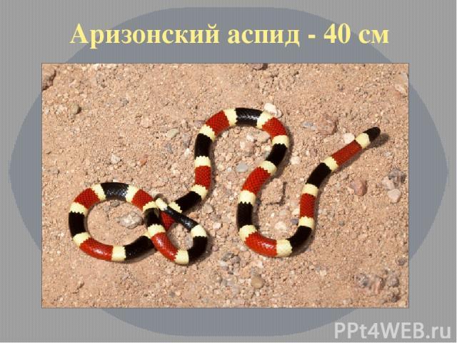 Аризонский аспид - 40 см