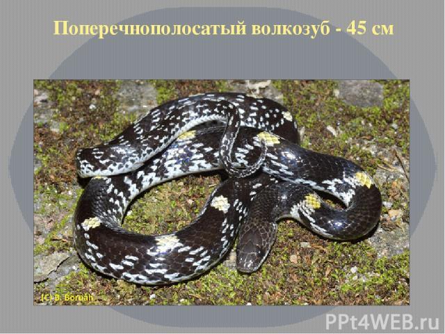 Поперечнополосатый волкозуб - 45 см
