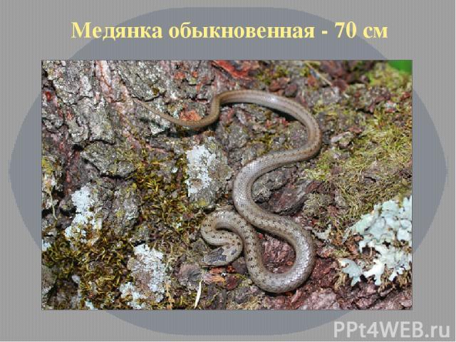 Медянка обыкновенная - 70 см