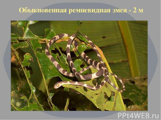 Обыкновенная ремневидная змея - 2 м