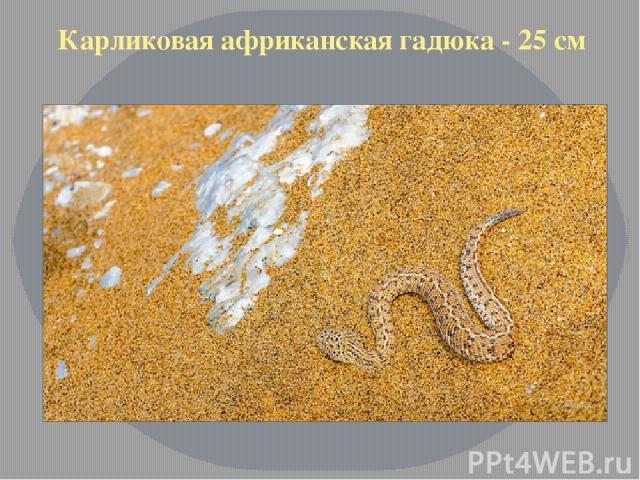 Карликовая африканская гадюка - 25 см