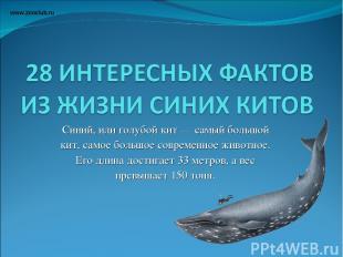 Синий, или голубой кит — самый большой кит, самое большое современное животное.