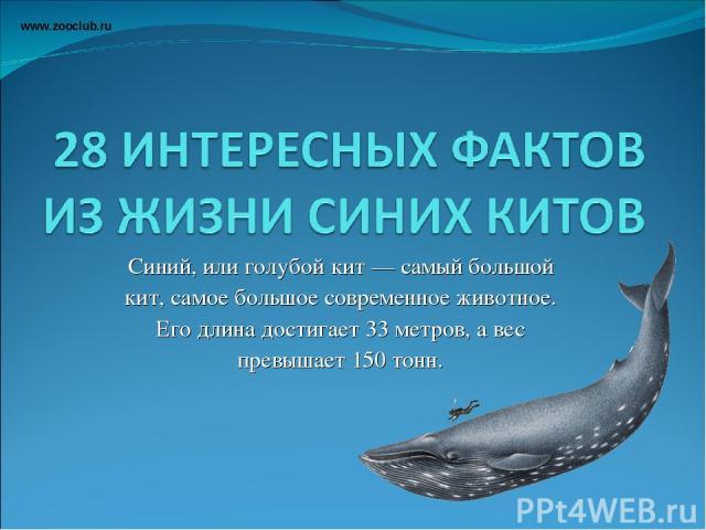 Синий, или голубой кит — самый большой кит, самое большое современное животное. Его длина достигает 33 метров, а вес превышает 150 тонн. www.zooclub.ru