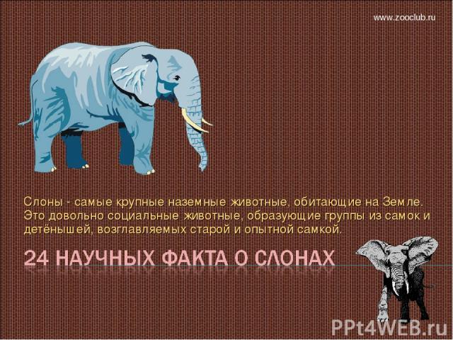 Слоны - самые крупные наземные животные, обитающие на Земле. Это довольно социальные животные, образующие группы из самок и детёнышей, возглавляемых старой и опытной самкой. www.zooclub.ru