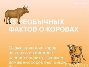 35 НЕОБЫЧНЫХ ФАКТОВ О КОРОВАХ Одомашнивание коров началось во времена раннего не