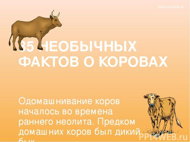 35 НЕОБЫЧНЫХ ФАКТОВ О КОРОВАХ Одомашнивание коров началось во времена раннего неолита. Предком домашних коров был дикий бык. www.zooclub.ru http://zooclub.ru/fakty/o_korovah.shtml