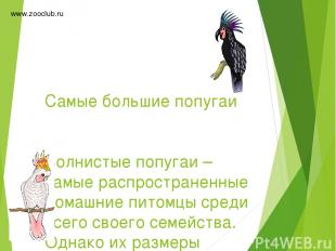 Самые большие попугаи Волнистые попугаи – самые распространенные домашние питомц