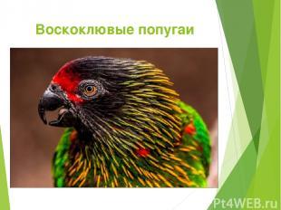 Воскоклювые попугаи