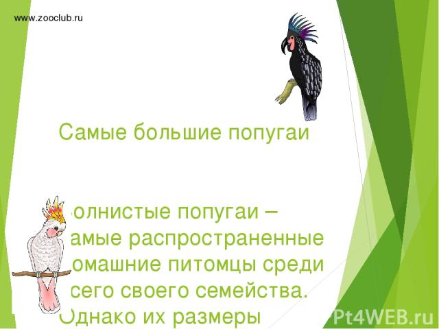 Самые большие попугаи Волнистые попугаи – самые распространенные домашние питомцы среди всего своего семейства. Однако их размеры далеко не очень крупные. Существуют виды в 2-3, а то и более, раза превосходящие популярных попугайчиков. www.zooclub.r…