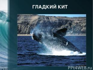 ГЛАДКИЙ КИТ