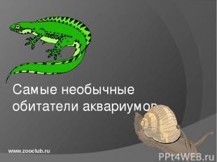 Самые необычные обитатели аквариумов www.zooclub.ru http://zooclub.ru/samye/neob