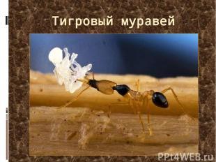 Тигровый муравей