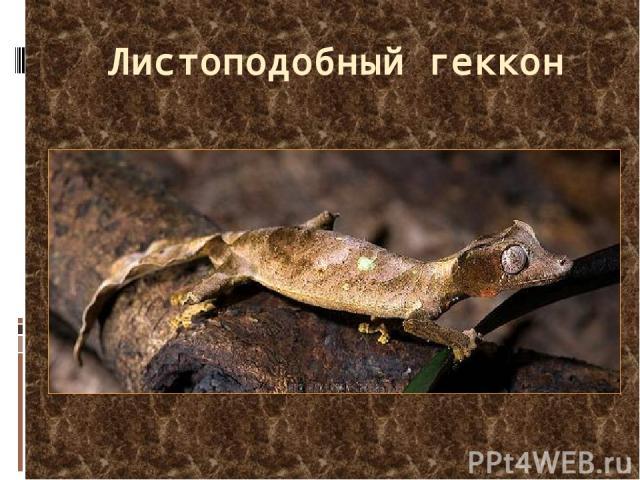 Листоподобный геккон