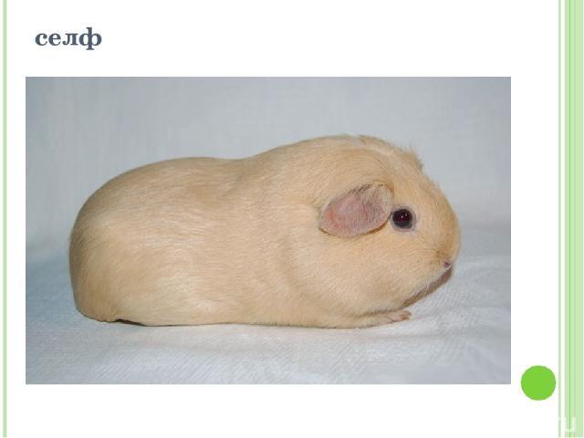 Как разводить морских свинок