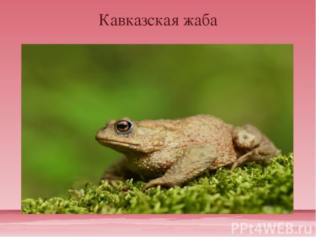 Кавказская жаба