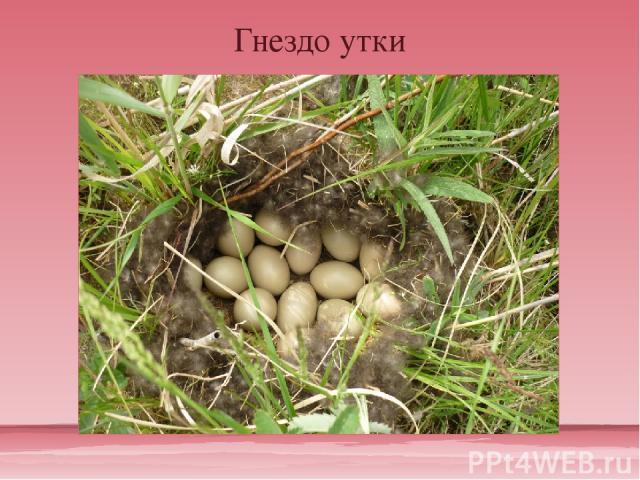 Гнездо утки