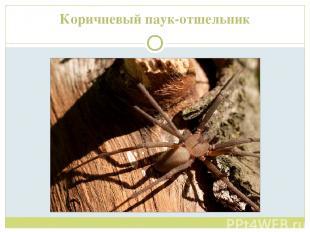 Коричневый паук-отшельник