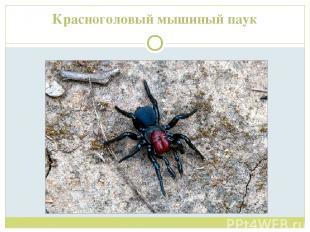 Красноголовый мышиный паук