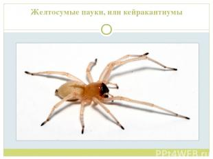 Желтосумые пауки, или кейракантиумы