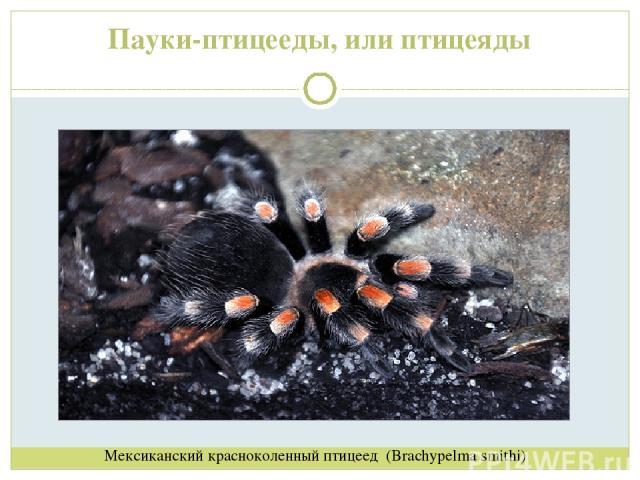 Пауки-птицееды, или птицеяды Мексиканский красноколенный птицеед (Brachypelma smithi)