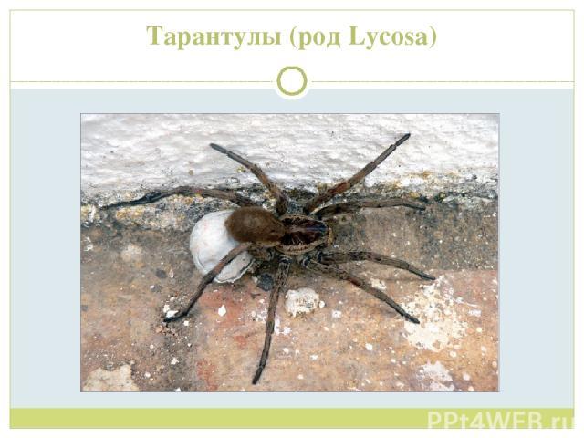 Тарантулы (род Lycosa)