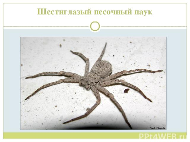 Шестиглазый песочный паук