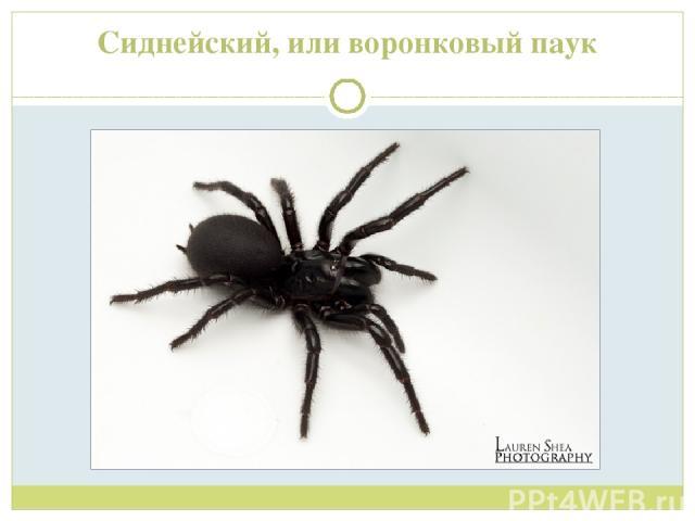 Сиднейский, или воронковый паук