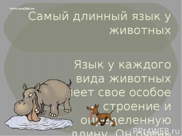 Самый длинный язык у животных Язык у каждого вида животных имеет свое особое строение и определенную длину. Он очень важен для животных, и без него они просто погибнут. www.zooclub.ru http://zooclub.ru/samye/dlinnyi_yazyk_zhivotnyh.shtml