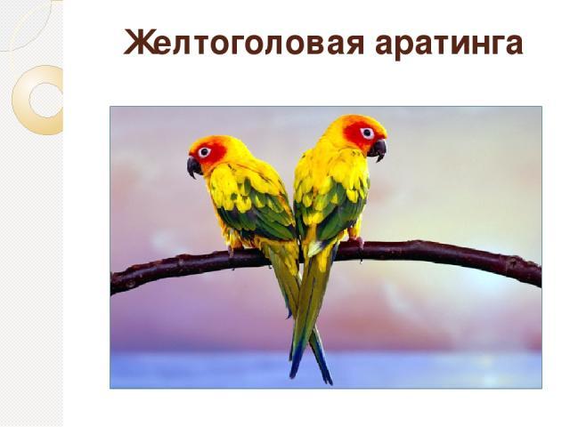 Желтоголовая аратинга