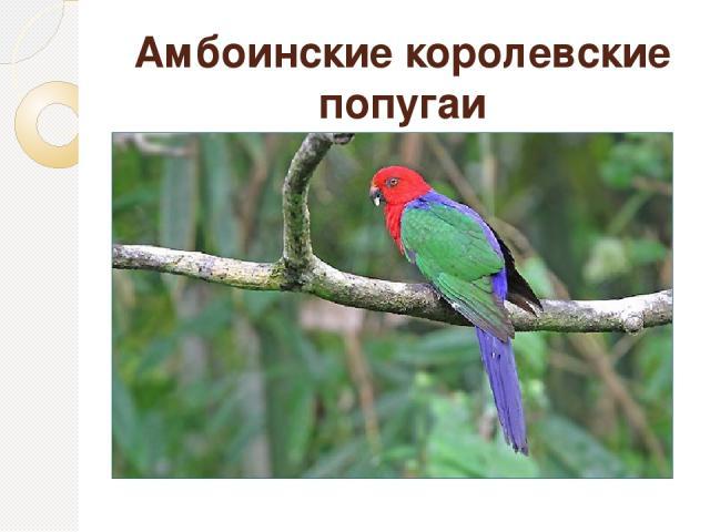 Амбоинские королевские попугаи