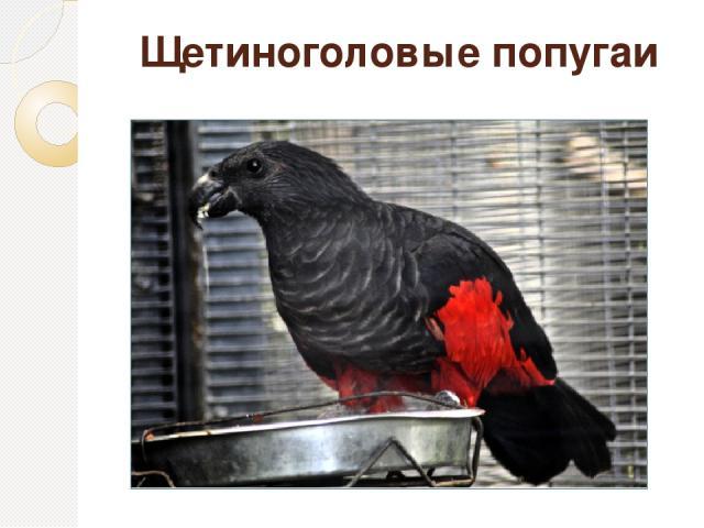 Щетиноголовые попугаи