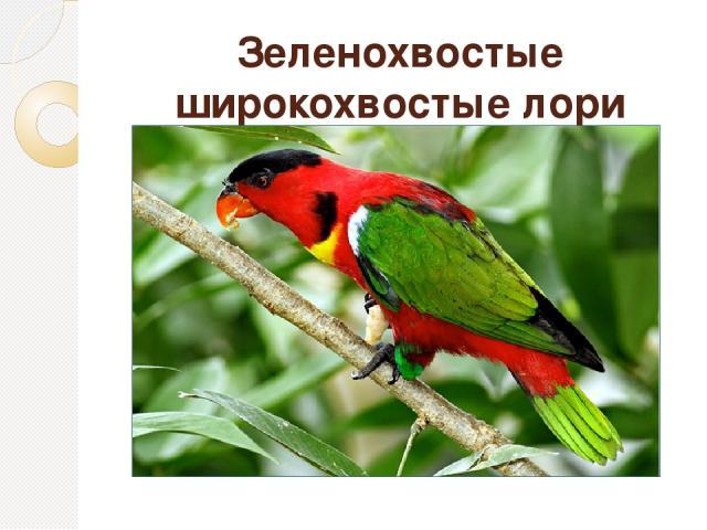 Зеленохвостые широкохвостые лори